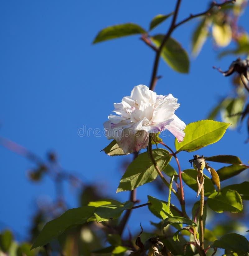 充分地盛开的小姐塞西尔布伦纳淡粉红的polyantha甜心罗斯 免版税图库摄影