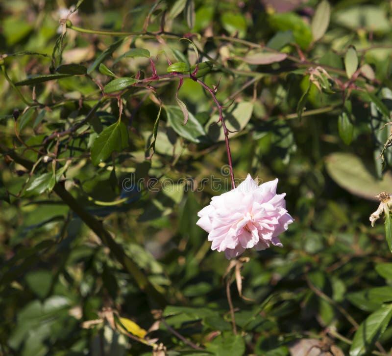 充分地盛开的小姐塞西尔布伦纳淡粉红的polyantha甜心罗斯 库存照片