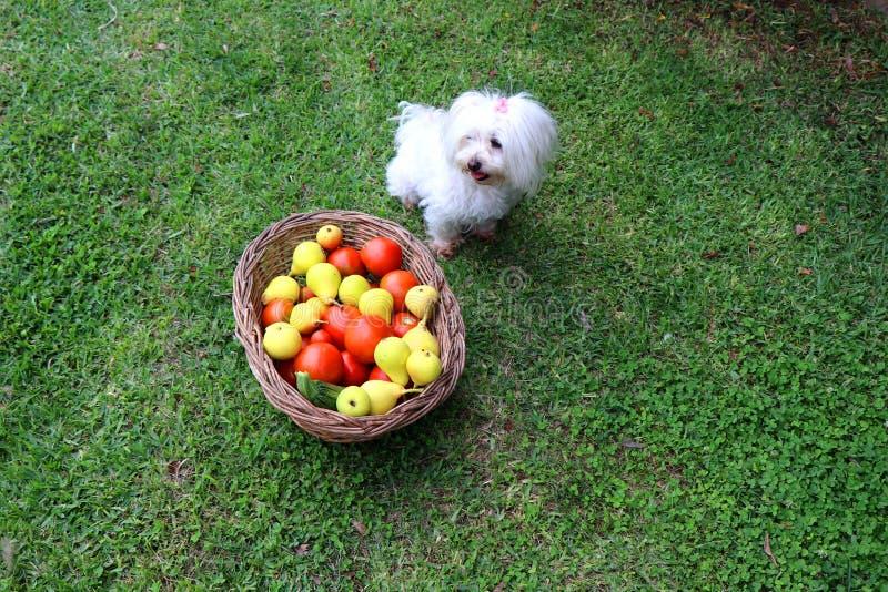 充分坐在篮子的逗人喜爱的马耳他狗新鲜的水果和蔬菜旁边在庭院里 库存照片