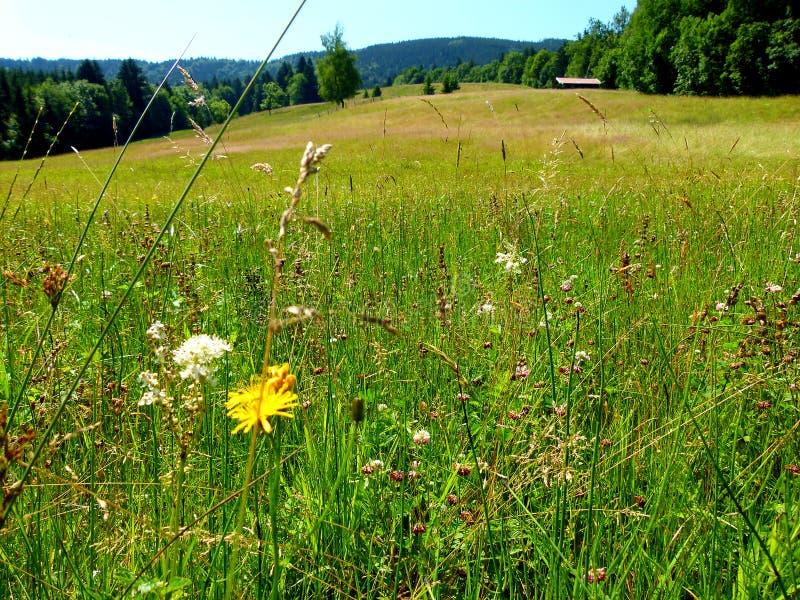 充分大夏天草甸与森林的花和山在背景中 免版税库存图片