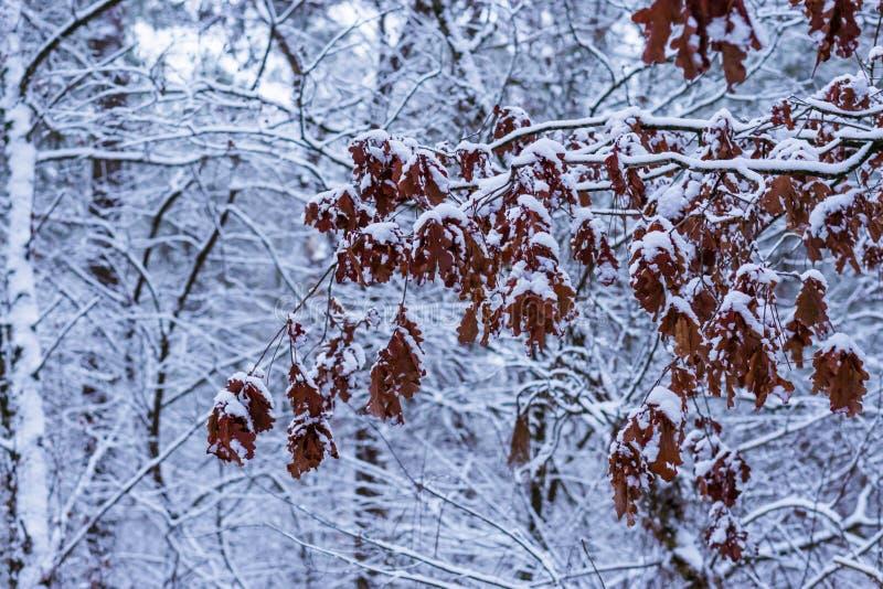充分大树枝在雪盖的棕色橡木叶子,冬天季节森林背景 免版税库存图片