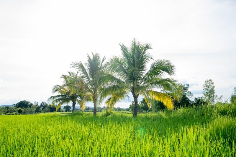 充分棕榈在领域的椰子 库存照片