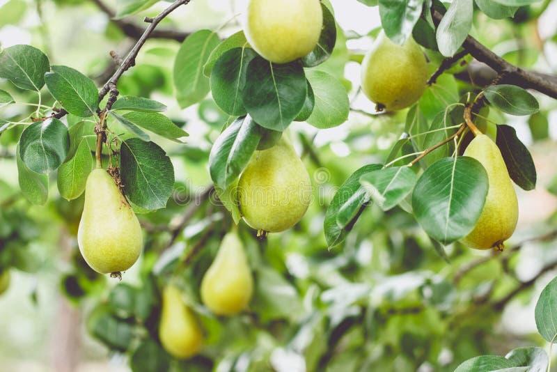 充分洋梨树分支果子 免版税库存照片