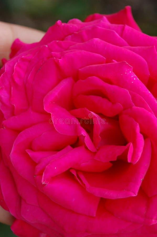 充分的极端关闭紫红色的花 免版税库存照片