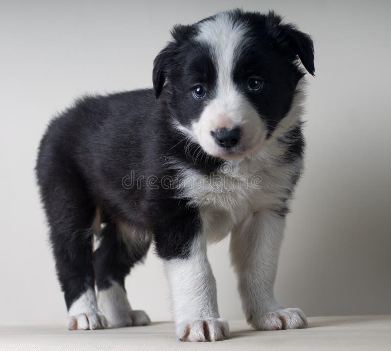 充分的身体博德牧羊犬黑白狗画象  免版税库存照片
