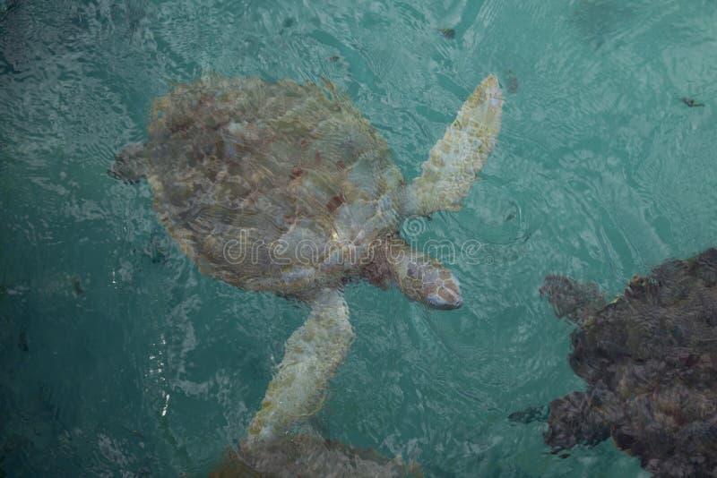 充分的身体顶视图绘了hawksbill草龟在清楚的水色织地不很细水下 免版税库存照片