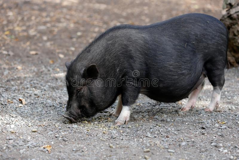 充分的身体黑猪品种越南大肚子 库存照片