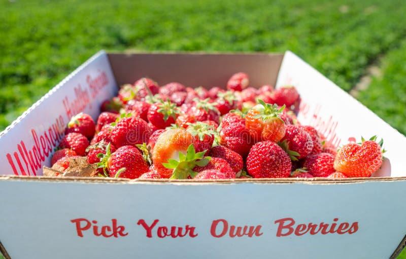 充分箱在领域的新鲜的有机草莓 库存图片