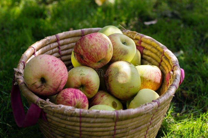 充分篮子在绿草的新鲜的苹果 库存图片