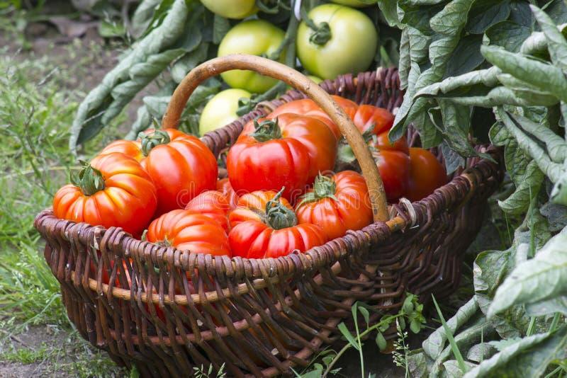 Download 充分篮子新近地被收获的蕃茄 库存图片. 图片 包括有 许多, 户外, 本地出产, 果子, 健康, 绿色, 水多 - 72358083