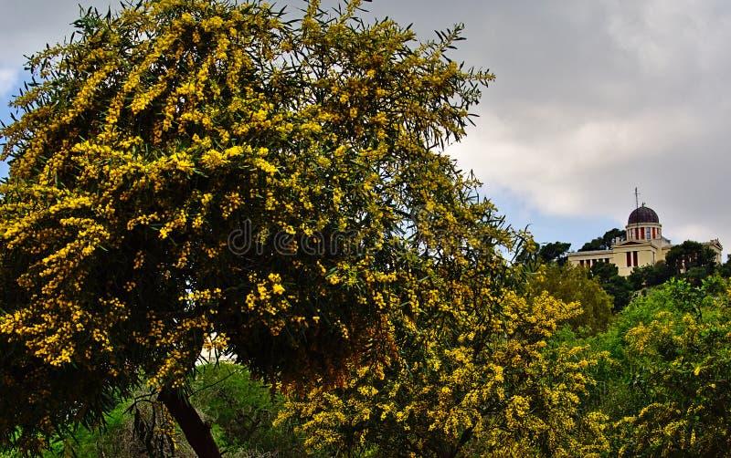 充分美丽的五颜六色的含羞草金合欢Baileyana树黄色花 r 雅典国家天文台 免版税库存图片