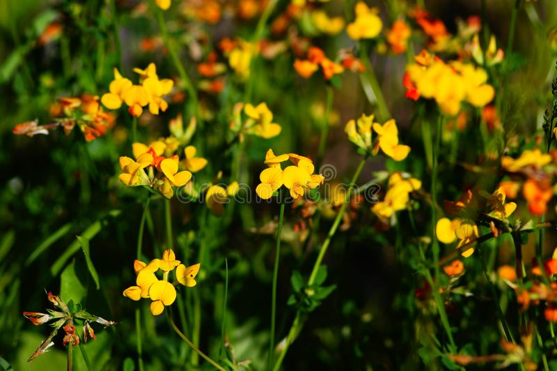 充分草甸黄色花,狮子的嘴,夏天, 免版税库存照片