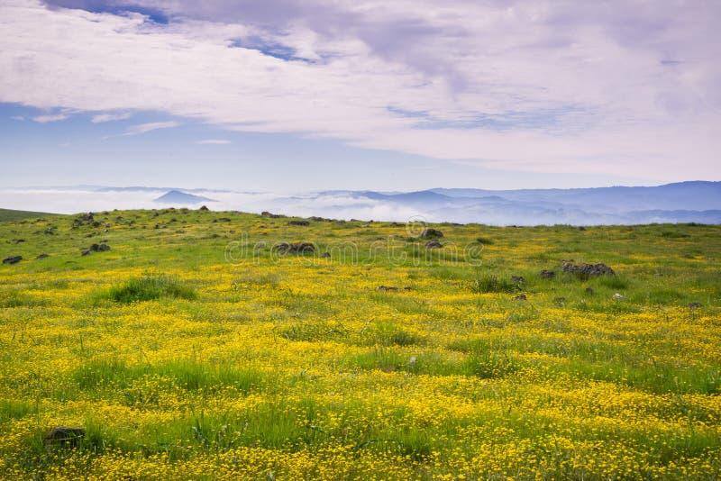 充分草甸goldfield野花;雾和云彩在背景,南旧金山湾区,加利福尼亚中 免版税库存照片