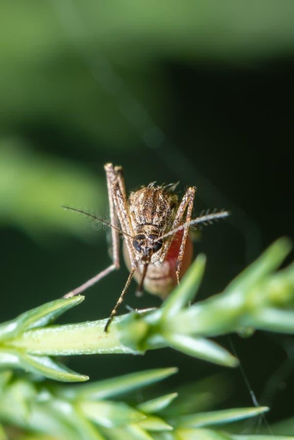 充分蚊子人血 免版税图库摄影