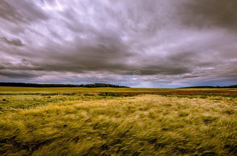 充分领域的在黑暗的天空的麦子 免版税图库摄影
