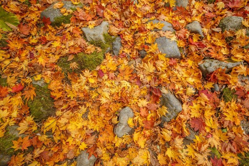 充满活力的枫叶在秋天-数纳,秋田,日本 免版税库存图片
