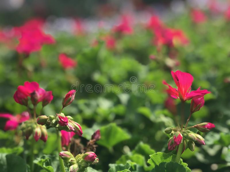 充满活力的桃红色花在一发光的天 免版税图库摄影
