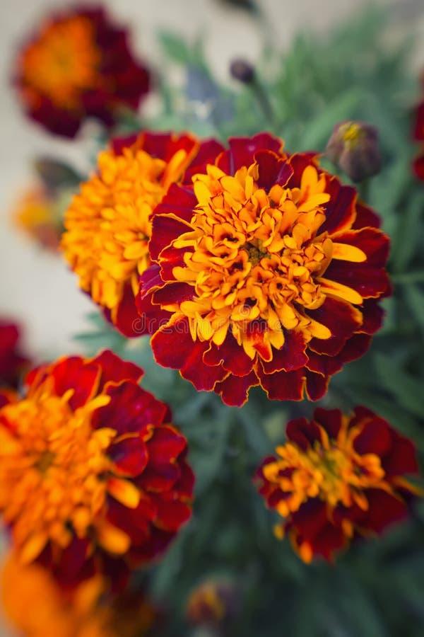 充满活力的橙色和红色万寿菊花 免版税库存照片