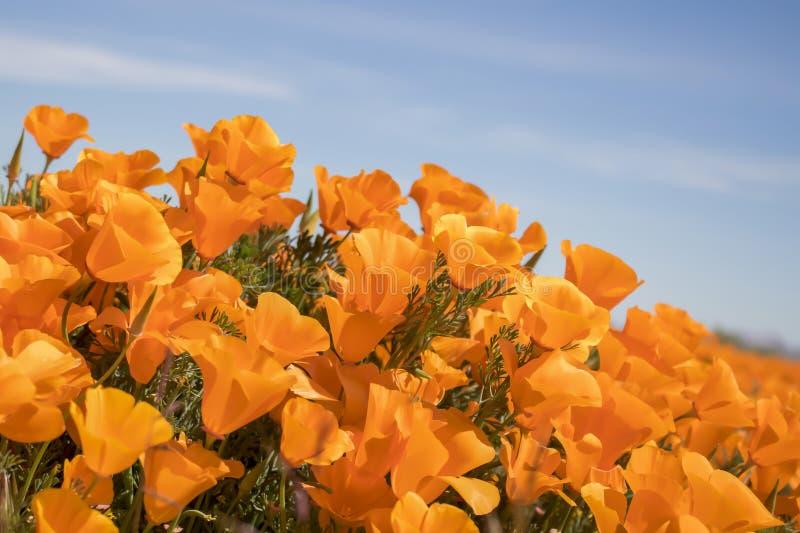 充满活力的橙色花菱草花关闭侧角 库存照片