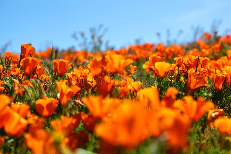 充满活力的橙色花菱草野花的领域 免版税库存照片