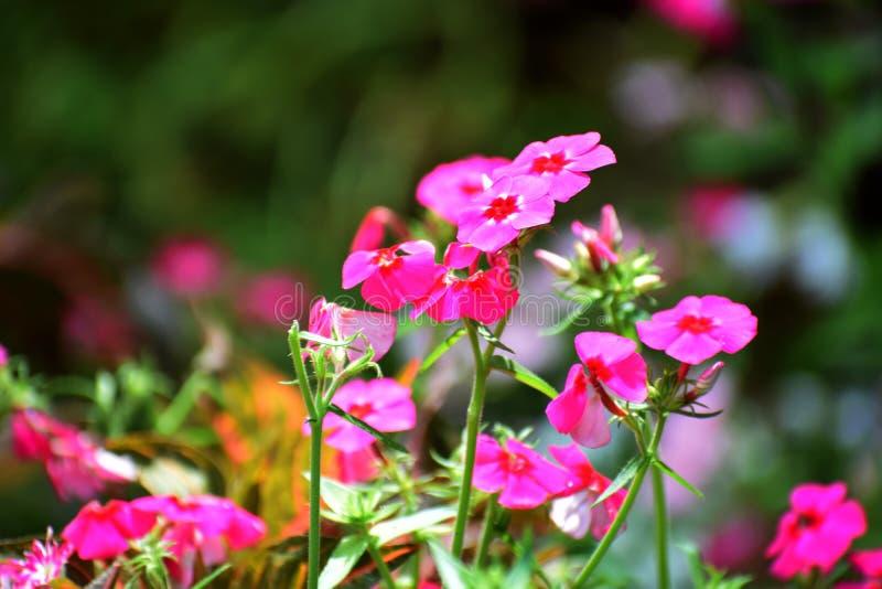 充满活力的粉色花植物 库存照片