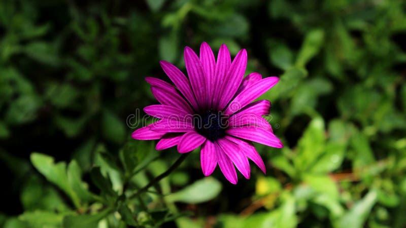充满活力的紫色翠菊花 库存照片