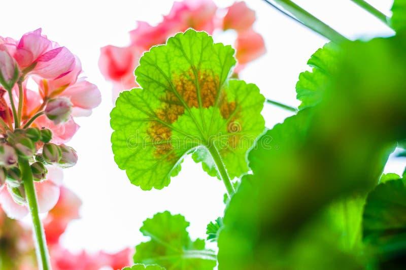 充满活力的红色桃红色芽和开花的开花的大竺葵花植物多色绿色叶子在雨以后的从轰鸣声 库存照片