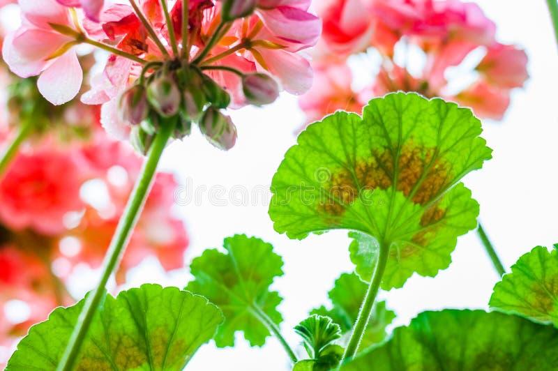 充满活力的红色桃红色芽和开花的开花的大竺葵花植物多色绿色叶子在雨以后的从轰鸣声 库存图片