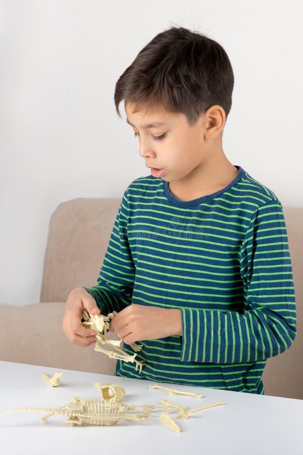 充满热情的男孩收集恐龙的骨骼 库存照片