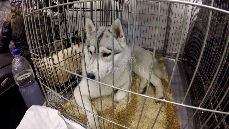 充满看所有者的哀痛的猎犬laika留下它在旅馆为动物 免版税库存图片
