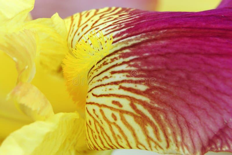 充满活力的黄色洋红色虹膜花瓣 库存图片