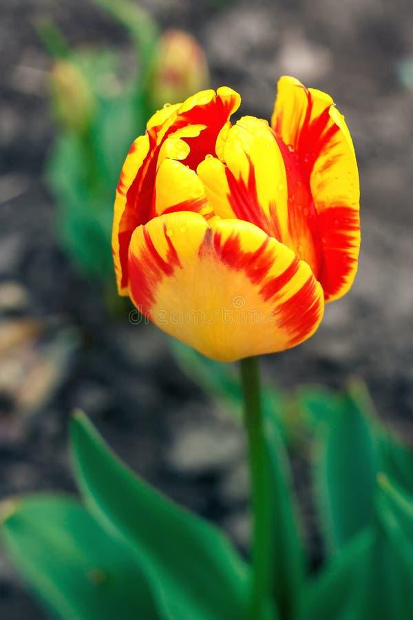 充满活力,黄色,五颜六色的郁金香 在春天太阳的郁金香开花 在领域的郁金香 免版税库存照片