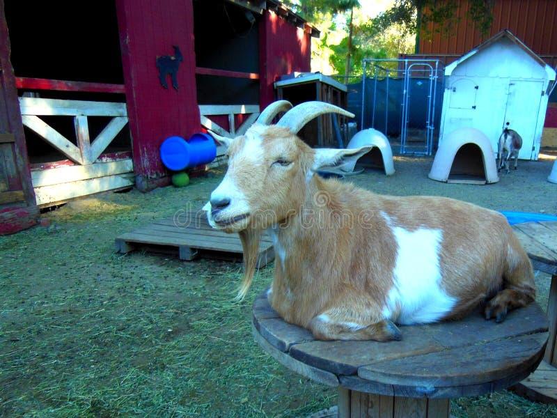 先生 在农场的山羊 免版税图库摄影
