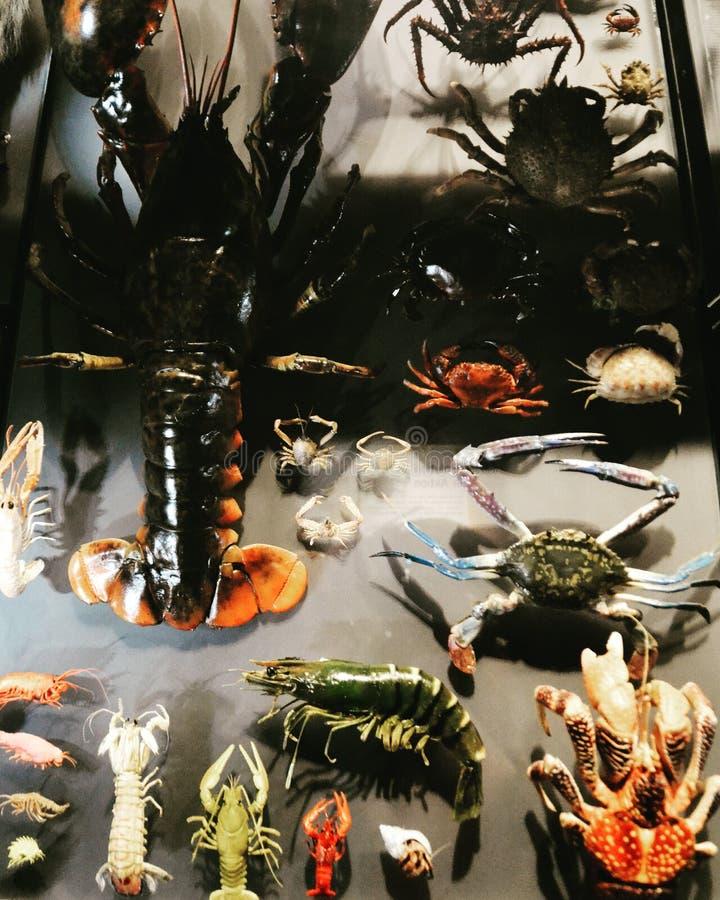 先生 螃蟹 免版税图库摄影