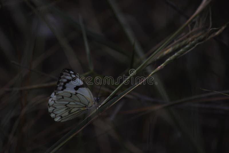先驱白色蝴蝶belenois aurota坐在Defocused的低灯的草 图库摄影