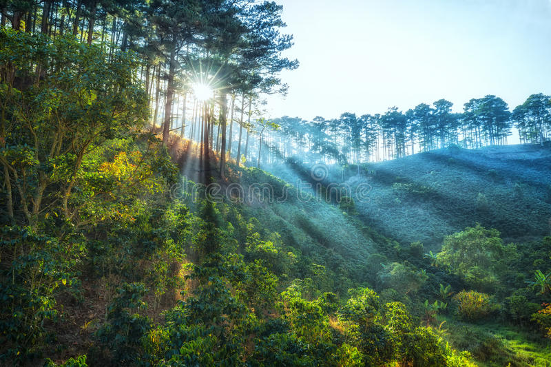 光及早在杉木森林大叻里 库存照片