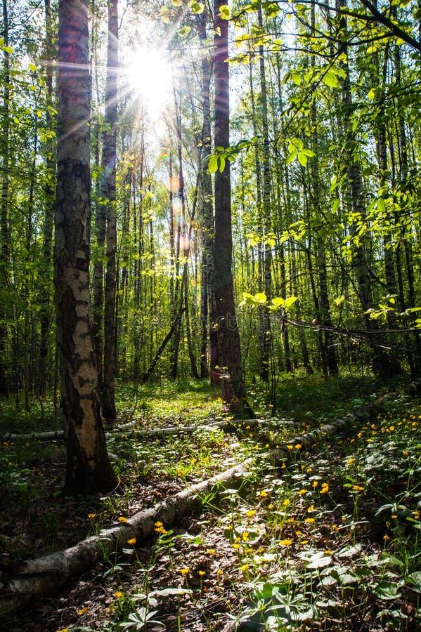 光在森林里 免版税图库摄影