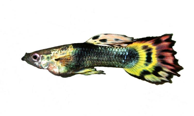 光彩的色彩艳丽的胎生小鱼 免版税图库摄影