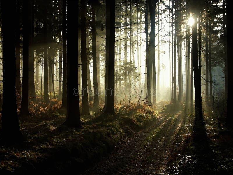 光束在有薄雾的秋天森林里 免版税图库摄影