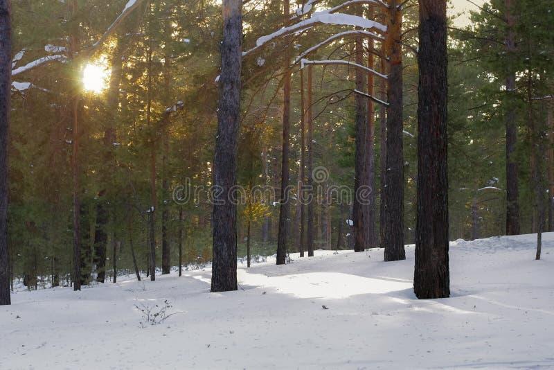光束,松树冠在森林里在一寒冷冬天天 免版税库存照片