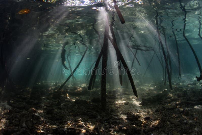 光柱在王侯Ampat的和美洲红树根 库存图片