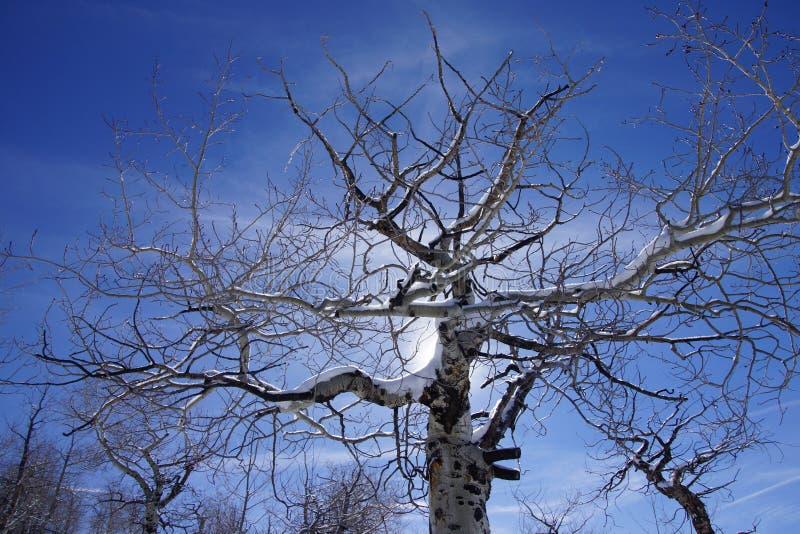 光秃的冬天白杨木粗糙的Krumholz分支  免版税库存照片