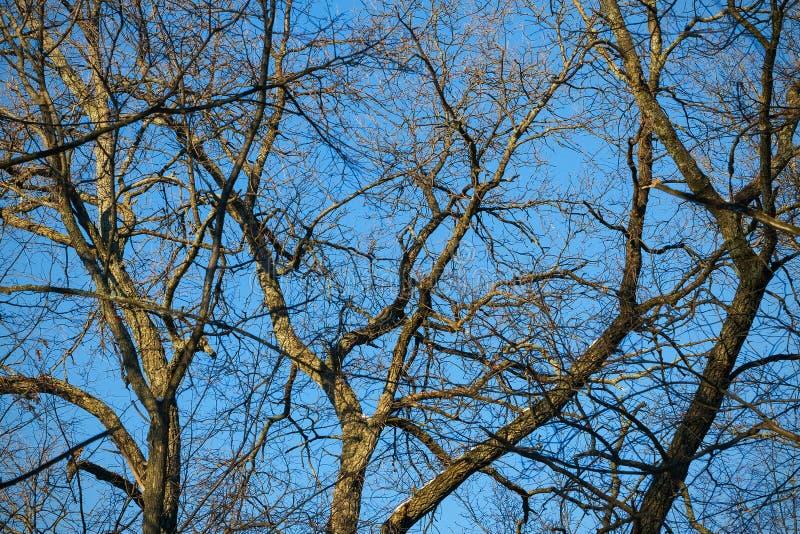 光秃的分支和树干反对天空蔚蓝 图库摄影
