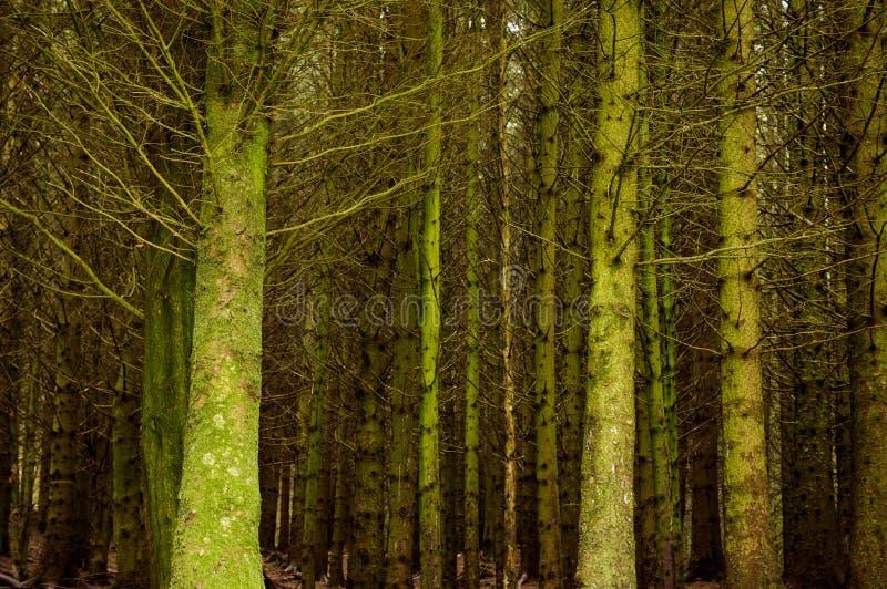 光秃的树在森林地 库存照片