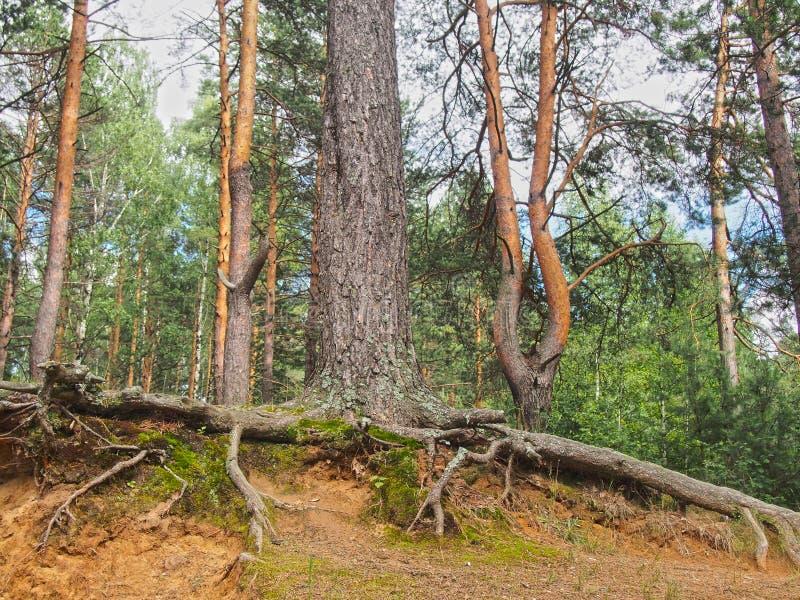 光秃的树根 免版税库存照片