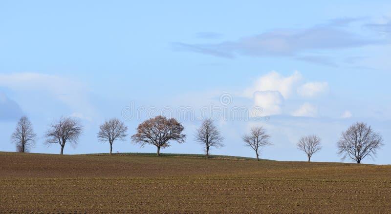 光秃的树行在一个未种植的领域的反对与拷贝空间的一个天空蔚蓝、秋天或者冬天风景 免版税图库摄影