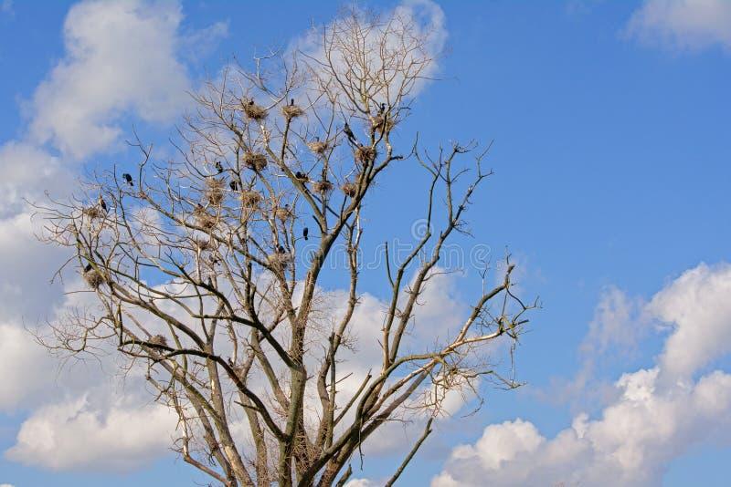 光秃的树鸬鹚充分筑巢-秃颤毛幼虫目 免版税库存图片