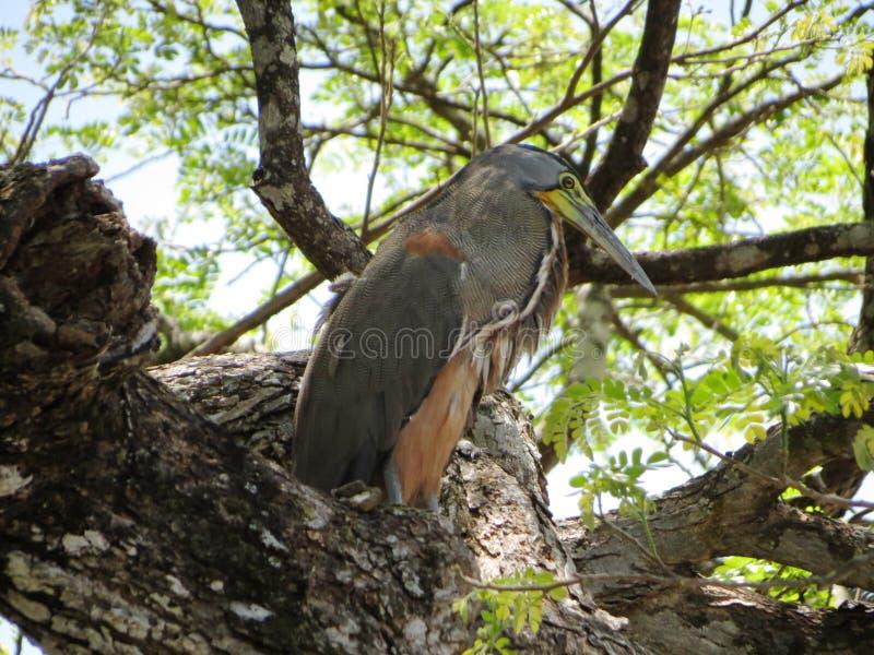 光秃的红喉刺莺的老虎苍鹭 库存照片