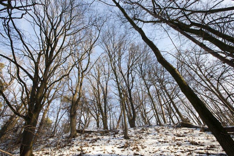 光秃的落叶树在冬天森林里图片