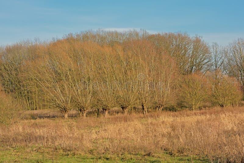 光秃的被修剪树枝的杨柳行和其他树和芦苇在佛兰芒乡下 免版税库存图片